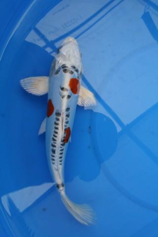 Bruce 39 S Pond Shop Aquatic Treasures Small Koi