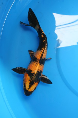 Bruce 39 s pond shop aquatic treasures small koi for Small butterfly koi fish for sale