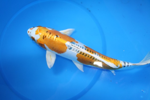 Bruce 39 s pond shop aquatic treasures large koi for Koi hariwake