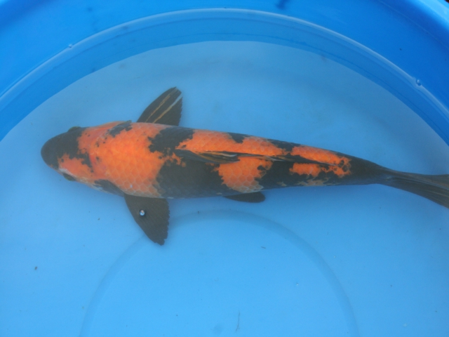 Bruce 39 s pond shop aquatic treasures large koi for Hi utsuri koi for sale