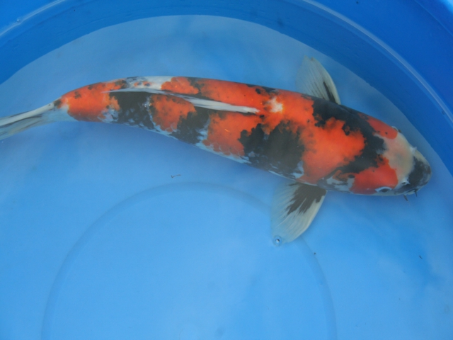 Bruce 39 s pond shop aquatic treasures large koi for Large butterfly koi for sale