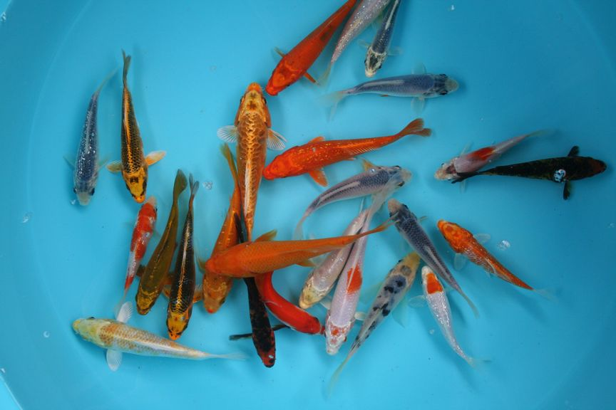 Bruce 39 s pond shop aquatic treasures bulk koi for Bulk koi fish for sale
