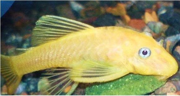 Small Size Mature Pleco 85