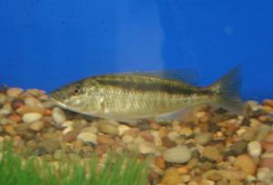 malawi trout sub adult