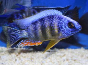 Bruce's Pond Shop & Aquatic Treasures - Freshwater - Cichlids