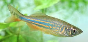 Bruce S Pond Shop Aquatic Treasures Freshwater Danios