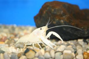 White Lobster